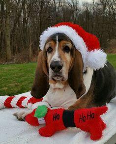 :) Merry Christmas Everyone. Christmas Puppy, Christmas Animals, Christmas 2016, Merry Christmas, Basset Hound Dog, Bassett Hound, Dog Rules, Dog Photography, Beautiful Dogs