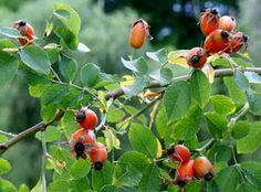 Feel Better, Vitamins, Herbs, Fruit, Plants, Arthritis, Health, Spices, Roses