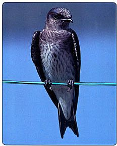 "Purple Martin. ""Bird Poop"" of north Texas"