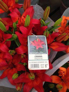 22. Londrina red lilly - Plant near citrus trees