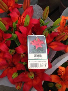 22. Londrina red lilly - Plant near citrus trees