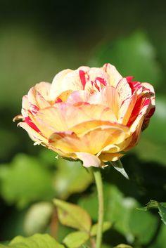 Camille Pissaro Rose