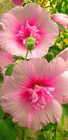 Beautiful pink hibiscus Isn't that Hollyhock? Exotic Flowers, Amazing Flowers, My Flower, Pretty Flowers, Flower Power, Pink Flowers, Hibiscus Flowers, Cactus Flower, Yellow Roses