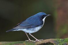 Siberian blue robin, male (Luscinia cyane) - Синий соловей. Ulu Kali. mFlickr (wokoti) Taken on February 21, 2015.