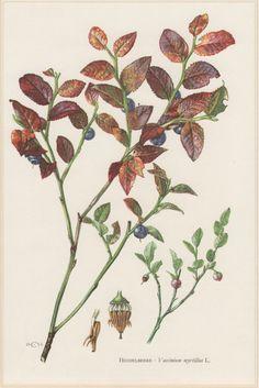 1960 Botanical Print Vaccinium myrtillus European by Craftissimo