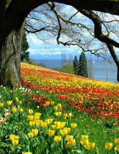 Spring landscape with a big old tree and tulips