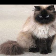Himalayan Cat = Persian Siamese Cat Breeds And Types Of Cats Pretty Cats, Beautiful Cats, Animals Beautiful, Cute Animals, Pretty Kitty, Siamese Cats, Cats And Kittens, Ragdoll Cats, Himalayan Kitten
