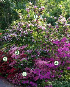 Magnolia et azalées japonaises pour un début de printemps coloré (Scènes de jardins)