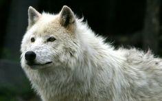 Amazing white wolf! ❤ *_*