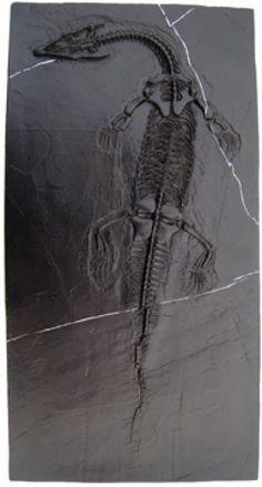 Nothosaurus, skeleton