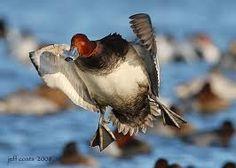 Redhead Duck Hunting 26