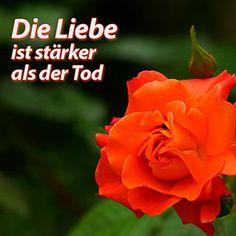Rose - Liebe ist stärker als der Tod