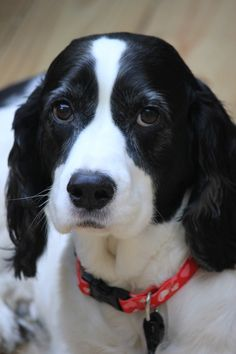 English Springer Spaniel - Piper!