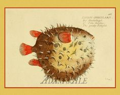 An Anthropomorphic Prickly Bottlefish Art Print From A French by AdamsAleArtPrints, $10.00