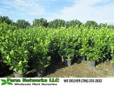 Miami Clusia Small Leaf | Your premier grower of tropical plants, We deliver