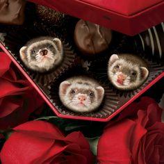 Sweet ferrets http://www.pinterest.com/atticatalley/adorable-essentials/ & http://www.pinterest.com/pin/461056080574172308/