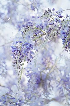 Wisteria flowers. a favorite childhood memory...lovely flowers filled with the sound of BEES♥