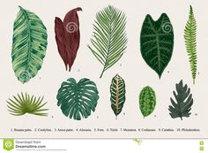 Set Leaf. Exotics. Vintage Vector Botanical Illustration. - Download From Over 53 Million High Quality Stock Photos, Images, Vectors. Sign up for FREE today. Image: 73881891