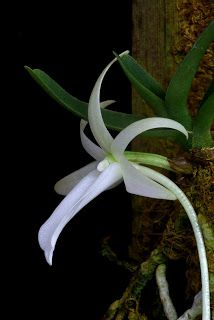 Angraecum rutenbergianum.  Like Angraecum dideri, Angraecum rutenbergianum is from Madagascar and prefers cooler temperatures.  The plant grows to 8 cm and the flowers are almost as large as the plant, 5.5 cm with a 12 cm spur or nectary.  The flowers are fragrant at night.  They are held very close to the plant.