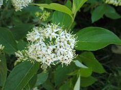 Silky dogwood. Shrub or small tree. Plant near creek? Prefers some shade. amomum - Plant Finder
