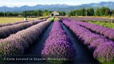 Welcome to Victor's Lavender! Squim Washington @Earthbound Farm #AmericaBound
