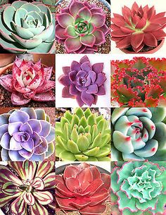 HENS AND CHICKS variety mix rare houseleeks succulent flowering seed 100 seeds for sale online Vertical Succulent Gardens, Succulent Landscaping, Succulent Gardening, Succulent Terrarium, Succulent Images, Colorful Succulents, Growing Succulents, Cacti And Succulents, Planting Succulents