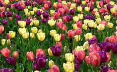 The tulip is a Eurasian and North African genus of perennial, bulbous plants in the lily family. It is an herbaceous herb with showy flowers, of which around 75 wild species are currently accepted.