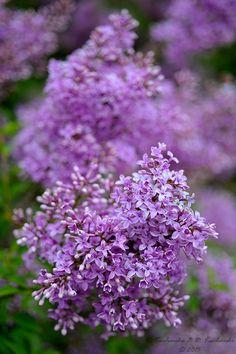 "blooms-and-shrooms:  ""Syringa vulgaris by Dark-Raptor  """