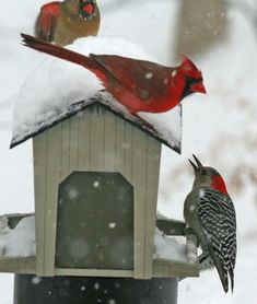 Cardinal pair and red-bellied woodpecker! All birds we've seen at our own backyard feeder setup. <3 <3 <3