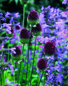 ~~Allium sphaerocephalon ~ green and purple! one of my favorite color combinations in the garden~~