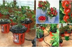 Container Gardening Hack: DIY Self Watering Container Garden for Maximum production. No matter what time of year, it is never too late to get ready for the growing season. Growing Tomatoes Indoors, Tips For Growing Tomatoes, Growing Tomato Plants, Growing Tomatoes In Containers, Grow Tomatoes, Vegetable Garden Tips, Container Gardening Vegetables, Belive In, Self Watering Containers