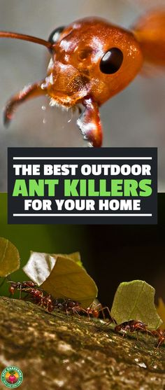 There are billions of ants in the world, but they're most annoying in your home and garden. Learn which of the best ant killers are right for your problem. Ant Pest Control, Bug Control, Garden Bugs, Garden Pests, Garden Insects, Ant Killers, Flea Spray, Bees And Wasps, Beneficial Insects