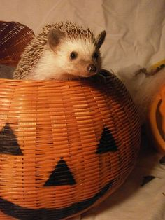 Prickles wishes you a Happy and Safe Halloween! I'm going to have an odd assortment of pets. Hedgehog , bearded dragon and Russian Shepard Also stealing prickles as the hedgehogs name! Hedgehog Names, Cute Hedgehog, Baby Animals, Cute Animals, Pet Dragon, Animal 2, My Little Baby, All Gods Creatures, Scary Movies
