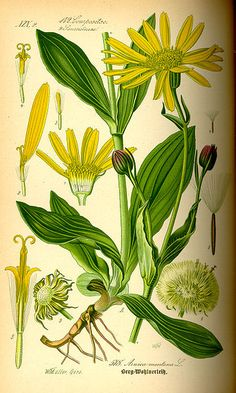 Arnica montana - ointments against bruises. Infusion or tea for heavy bruises or to stop internal bleeding. Arnica Montana, Illustration Botanique, Illustration Blume, Vintage Botanical Prints, Botanical Drawings, Edible Plants, Edible Flowers, Botanical Flowers, Botanical Art