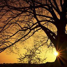 Valokuvatapetti - Silhouette of a Willow Tree in Sunset