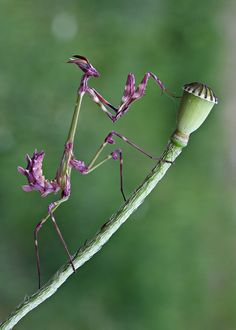 Empusa Fasciata a species of praying mantis - (female) by ~lisans