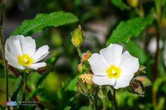 Stefanodav's Shot-Blog: Twins... #flowers #Fiori #nature