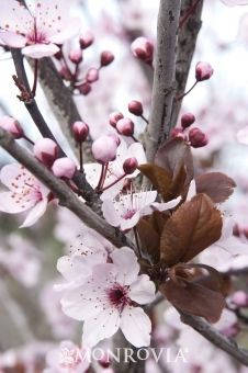 Newport Purple Leaf Plum  - great website with tree/foliage details, including companion options