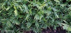 Pleioblastus pygmaeus 'Distichus' (Varenloofbamboe) Een van de kleinste bamboesoorten met opvallende varenachtige bladeren. Deze soort kan gebruikt worden als bonsaicultuur, als bodembedekker en zelfs als bamboegazon als ze periodiek gemaaid wordt. Sowieso blijft deze plant op zijn mooist bij periodieke snoei. Prima als wintergroene ondergroei onder hoge bamboes of andere oosterse planten zoals Cryptomeria. Pleioblastus pygmaeus blijft wat lager. Momenteel uit collectie vanwege bloei.