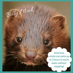 billy mink american mink facts activities books photos and videos