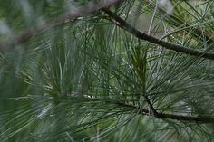 POETRY: Pine Needles Pray by Jim Roberts   Pine needles pray, nestling down. Their scent rises. The Forest breathes and exhales prayer. Its wind moves into fissures. Granite takes it in and firmly issues a prayer to a mushroom lifted by its…