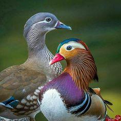 Canard Mandarin, Mandarin Duck, Pretty Animals, Cute Animals, Wall Art Pictures, Exotic Birds, Mallard, Wildlife Photography, Beautiful Birds