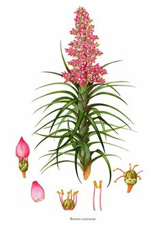 Richea ×curtisiae by Margaret Stones,