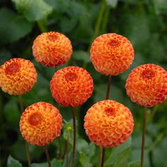 """GINGER WILLO (P) Introduced in 1988. 2"""" golden orange blooms blending to a deep orange on outside edges of the petals. Bush grows to 4' and produces nice stems for cutting. Another nice pom variety for cutting or garden display.  Swan Island Dahlias - $ 4.95"""