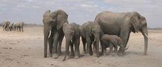 """elephants - copyright """"elephant voices"""""""