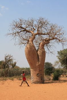 Baobab, Near Manambo, Madagascar✖️More Pins Like This One At FOSTERGINGER @ Pinterest✖️