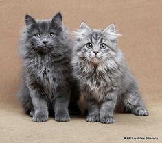 Siberian kittens # blue Siberian kittens Eddi and Emmi