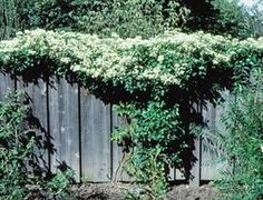 Fast Privacy:  These shrubs, trees and vines will give you the fastest cover.