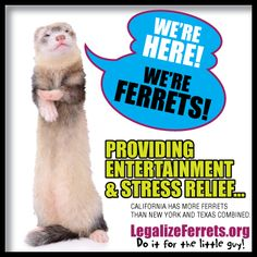 a paper on the legalization of ferrets as pets in california California pet owners fight for their ferrets the ferret has weaseled its way into california debate: should it be a legal pet published at 2:51 pm pst on mar 7.