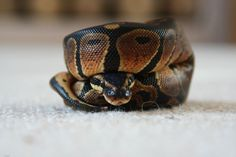 A really cute Ball Python Python Royal, Pretty Snakes, Beautiful Snakes, Cute Reptiles, Reptiles And Amphibians, Beautiful Creatures, Animals Beautiful, Animals And Pets, Cute Animals